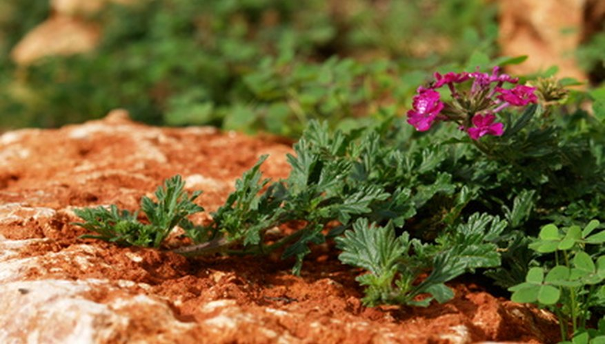 Some types of verbena plants are used as ground covers.