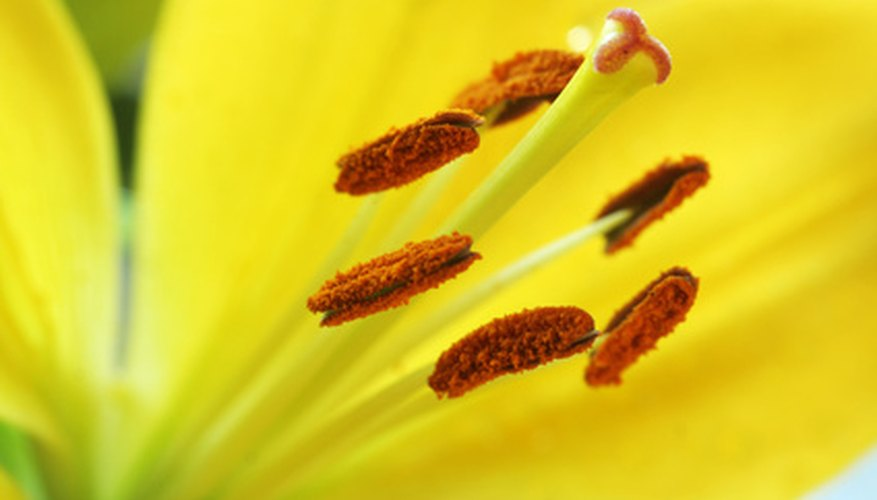 A lily's six brown anthers surrounding the pistil stalk.