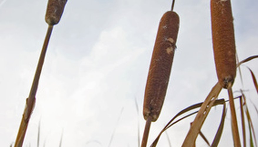 Cattails can be invasive.