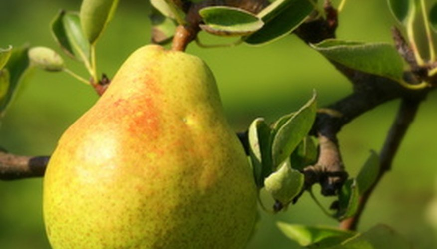 A dwarf pear tree grows full-size fruit--only the tree itself is smaller.