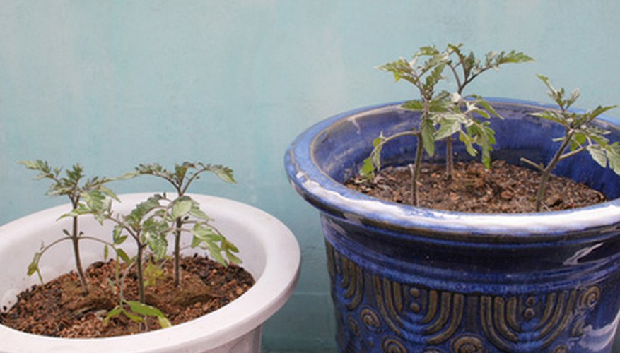 Growing tomato seedlings in pots takes six to eight weeks.