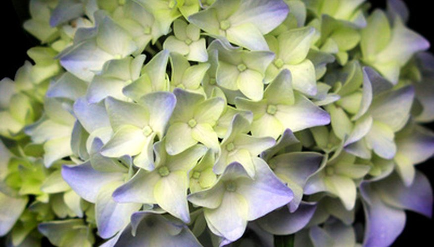 Hydrangea shrubs light up the garden with their large blooms.