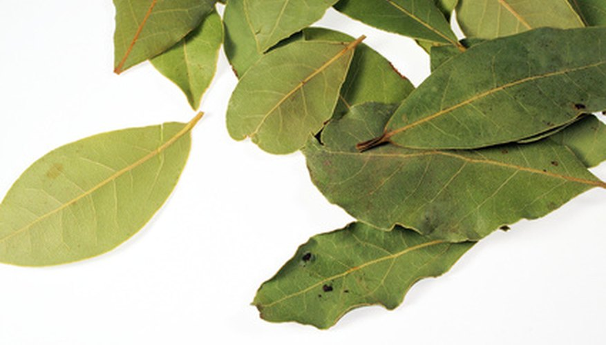 These laurel leaves have a few small trouble signs on them in the form of small, black spots.