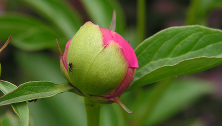 The leaf-like sepals protect the flower bud.
