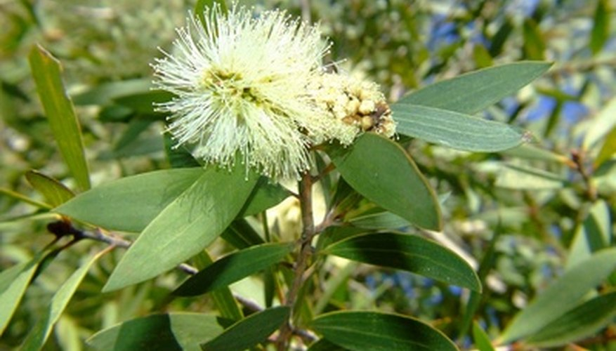 The bottlebrush shrub, with its distinctive flowers,  thrives in partial shade.