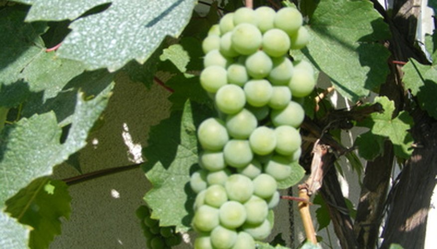 Grapes go through five distinct developmental stages.