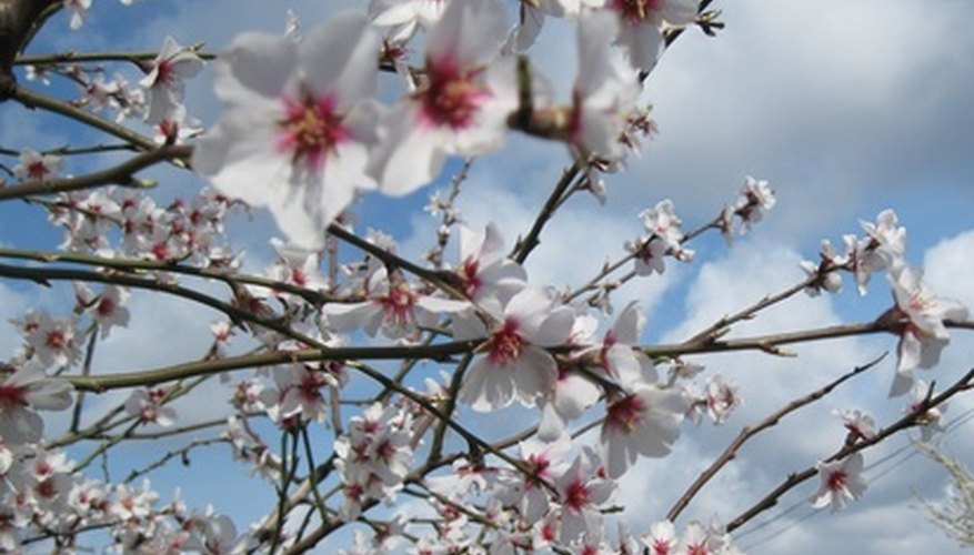 An almond tree in full bloom.