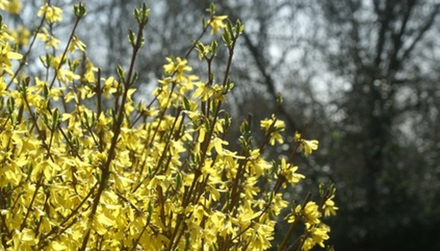 Forsythia are among the first shrubs to bloom in the spring.