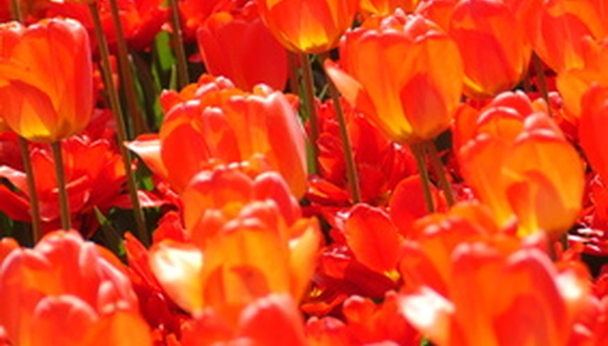 A field of fiery orange and red tulip flowers.