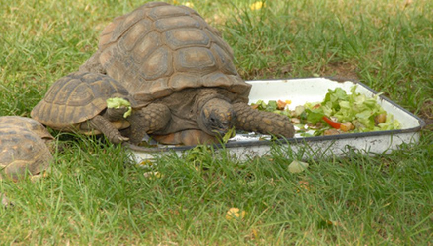 Sulcata tortoises are one of the largest in the world.