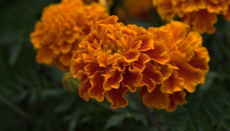 French marigolds are most commonly grown.