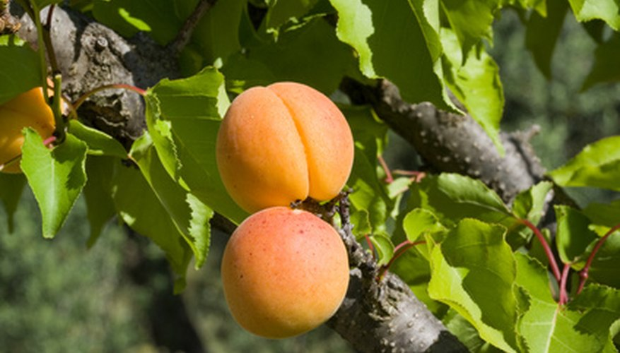 The apricot tree is a small to medium-sized tree.