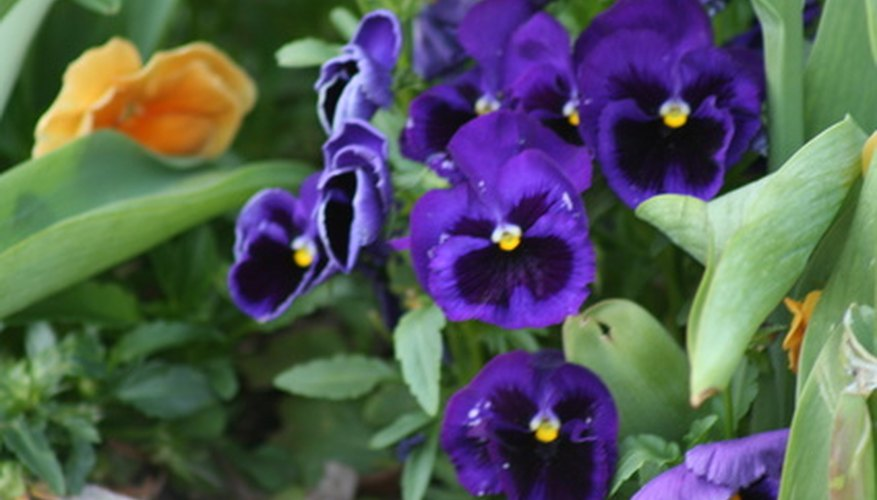 Violas, or pansies, are common garden flowers.