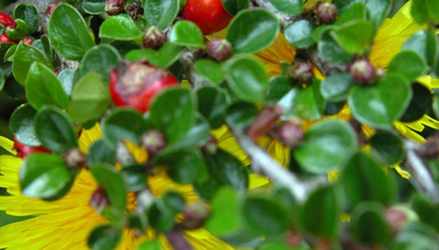 This cotoneaster shows its small leaves and bright red berries.