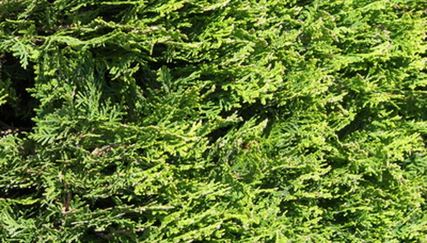 Thuja green giants can grow almost anywhere.