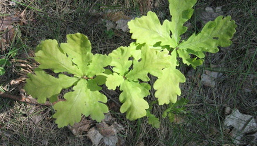 White oak trees have leaves with rounded lobes.