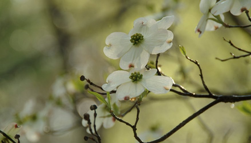 Flowering dogwood blooms in spring, just before the leaves emerge.