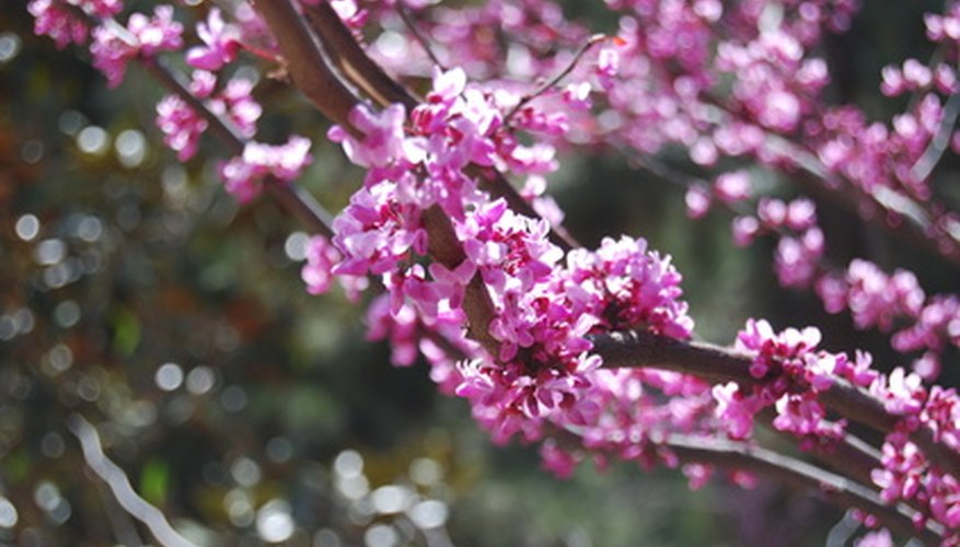 Ornamental plums are prized for spring flowers and purple foliage.