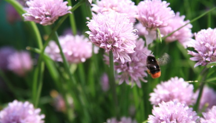Chives add color to the garden and a delicate taste of onion in the kitchen.
