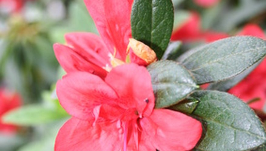 Azaleas have leaves with smooth margins.