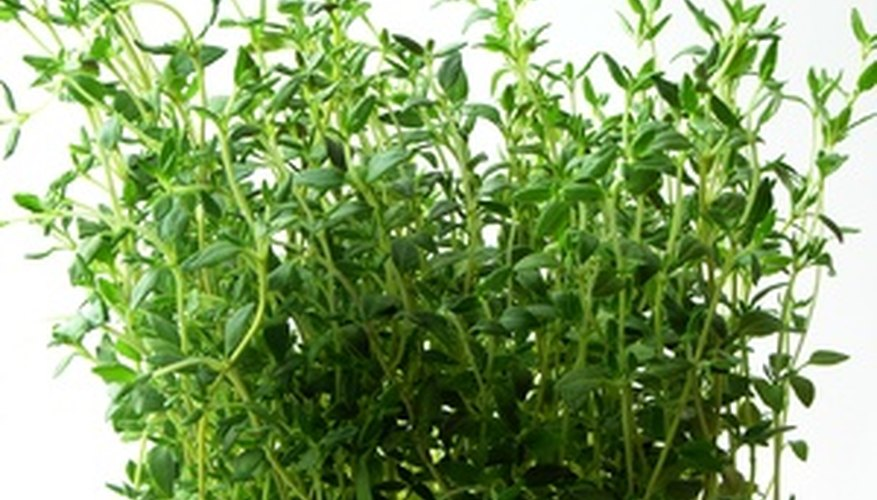 Thyme makes an attractive accent in a garden.