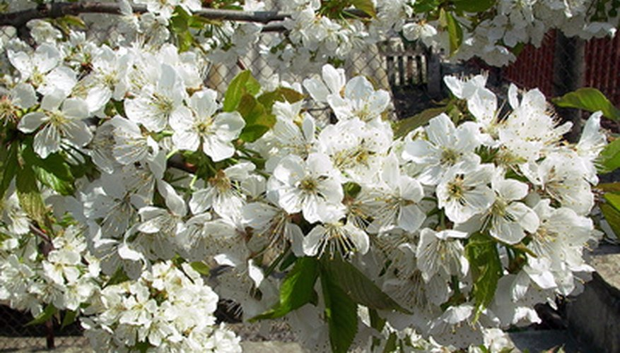 The flowering pear is one of several ornamental trees.