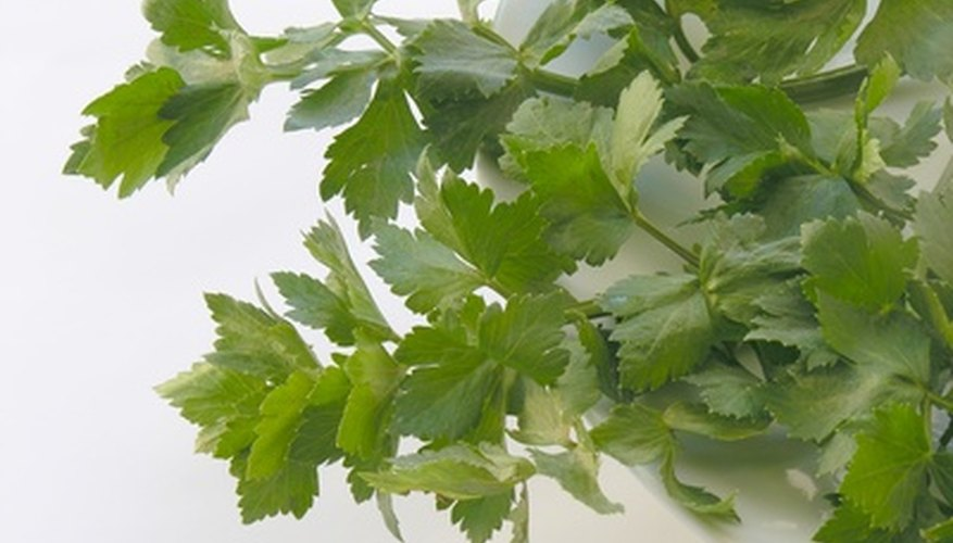 Celery can be grown with great effort in Texas clay soil.