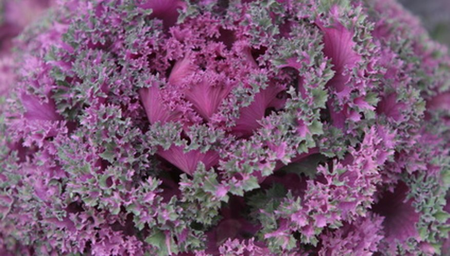 Flowering cabbage begins to develop its intense color when exposed to light fall frosts.
