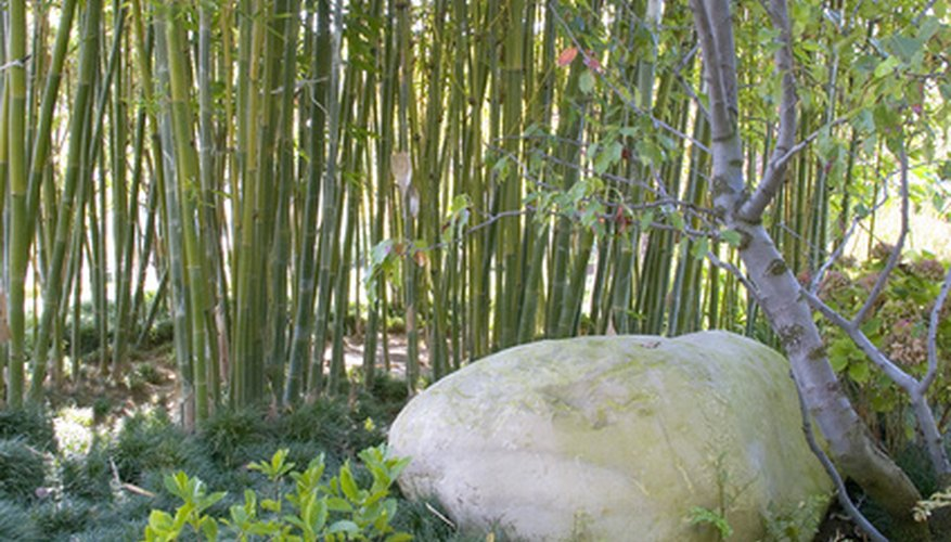 A clump of bamboo makes an effective screen