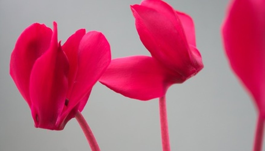 Some houseplants, such as cyclamens, prefer cooler temperatures.