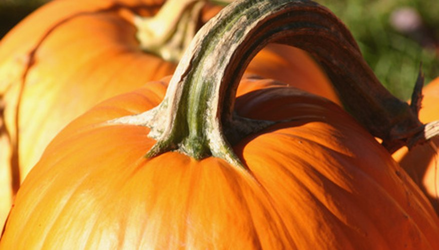 Pumpkins vary greatly in size.