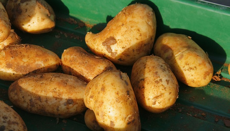 Potatoes are a historically important crop in Tasmania.