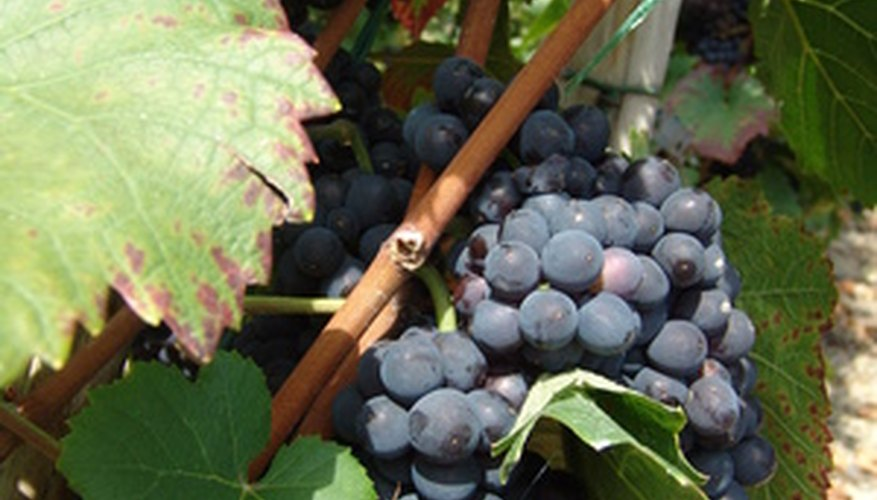 Grape vines can be used for making wreaths once the grapes have been harvested.