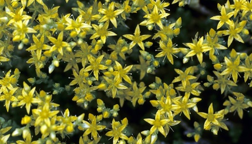 A yellow variety of sedum.