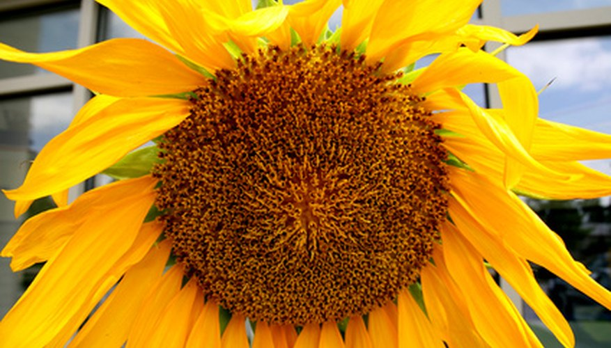 Some plants, such as sunflowers, move in response to light.