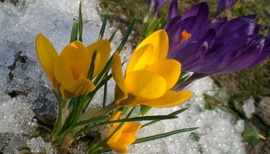 Store crocus bulbs before you plant them, if necessary.