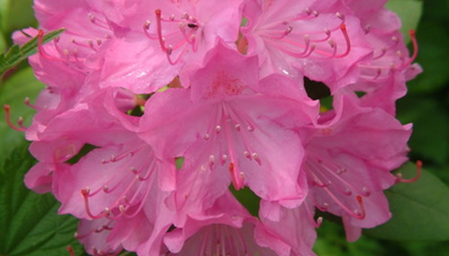 The rhododendron flower is often sticky to the touch.