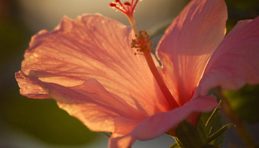 Hibiscus is a tropical plant found in South Carolina.