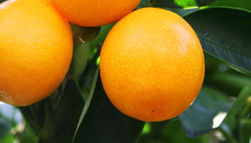 The kumquat is one type of citrus fruit that will grow in North Florida.