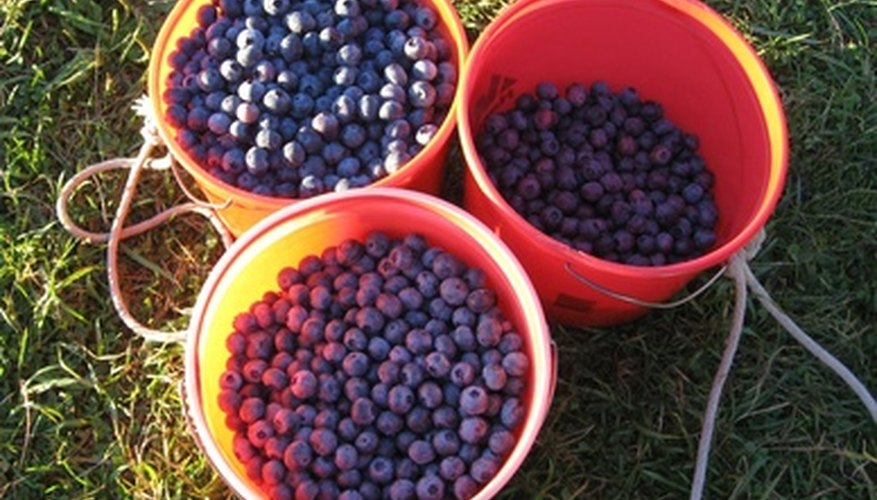 Blueberries are a fun crop.