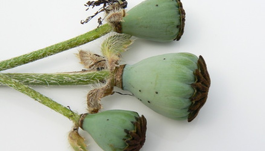 Poppy seeds are stored in bulbous seed pods.
