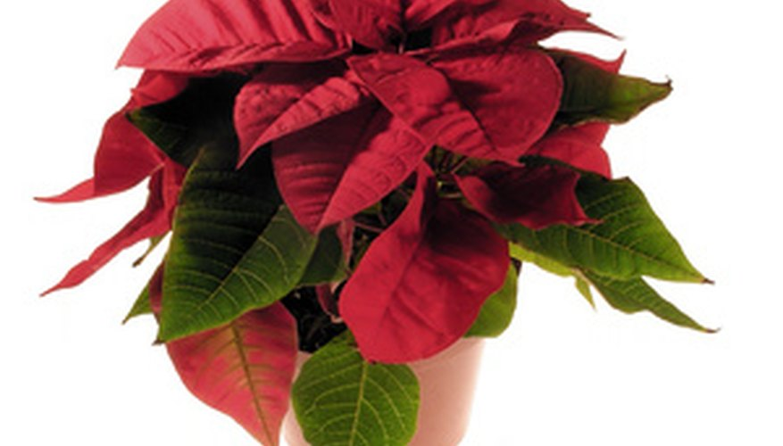 Poinsettias are common during the holidays but can live as a houseplant long after Christmas has passed.