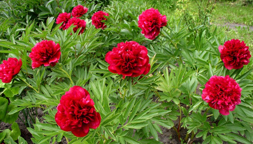 There are two types of peonies.