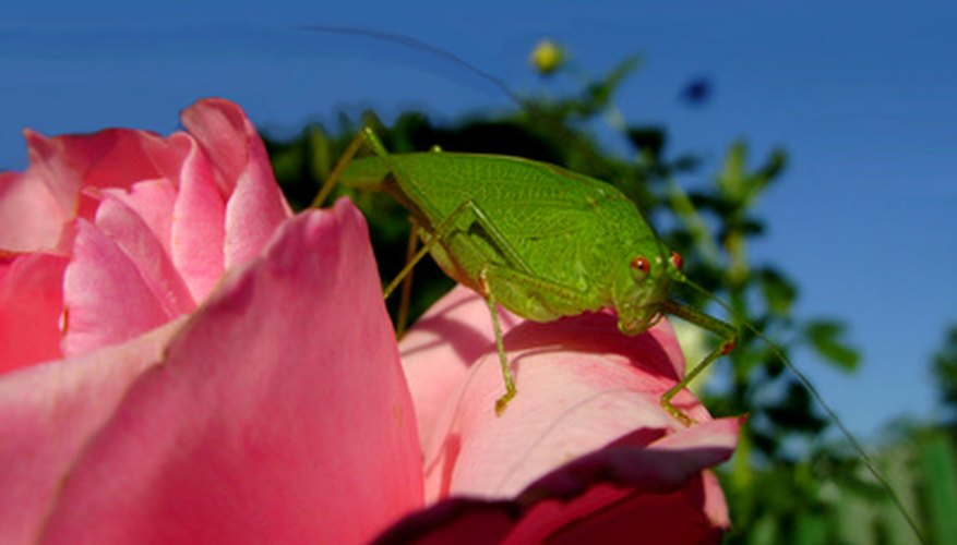Rose attract a wide variety of pests.