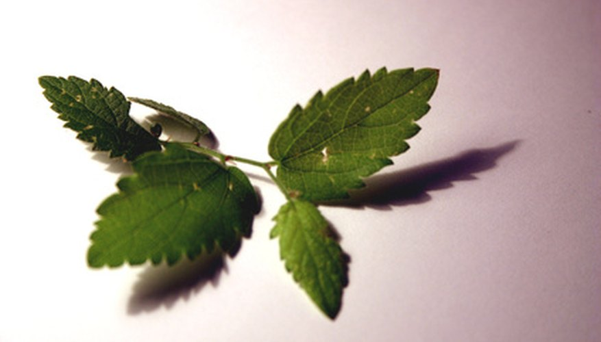 The mint plant's leaves exude a scented oil.