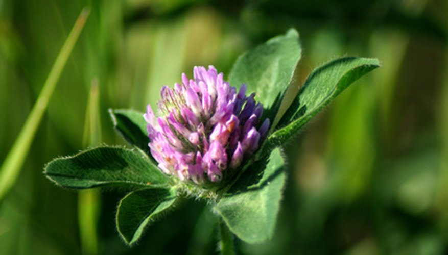 Red clover grows in the Northeast.