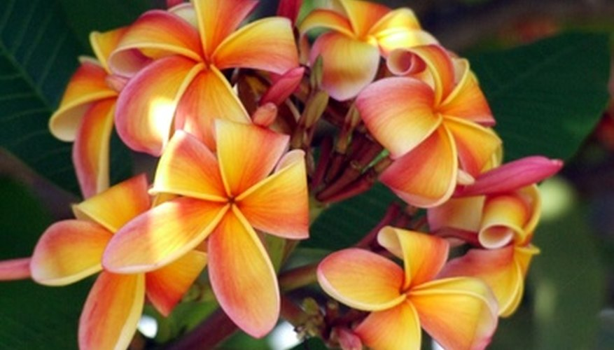 Depending on cultivar, frangipani blooms in a wealth of different colors.