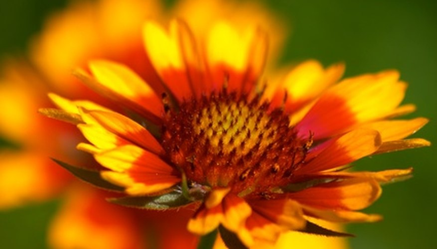 Gaillardia are highly salt tolerant and suitable for growing on the coast.