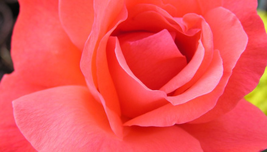 Hybrid tea roses are one of the most popular varities of roses.