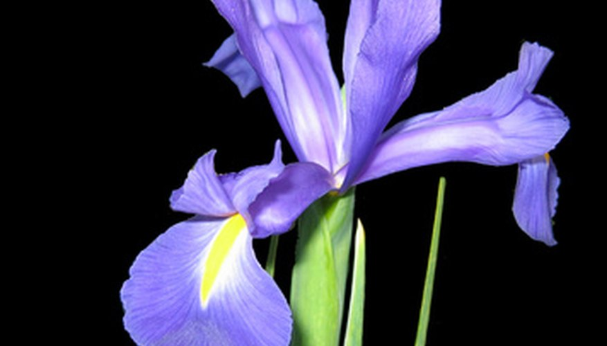 Iris flower bulbs are easily forced in glass containers.